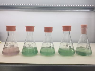 Cultures de cyanobactéries