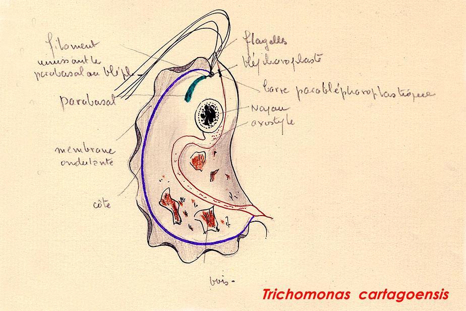 Trichomonas cartagoensis - Dessin par le Pr A Hollande © MNHN André Hollande/Philippe Grellier