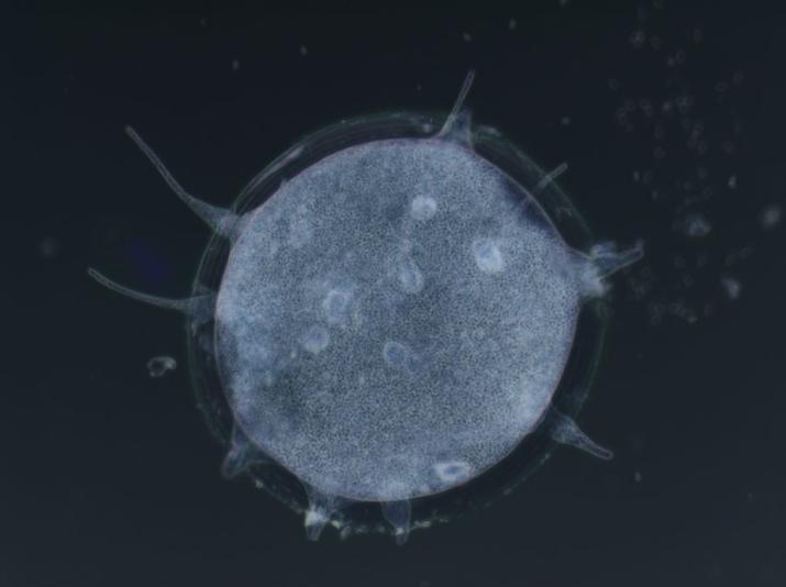 Gregarina blaberae,  parasite intestinal de la blatte Blaberus craniifer © MNHN – Laure Wasniewski et Isabelle Florent , MCAM, 2012