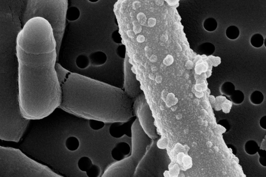 Lysinibacillus © MNHN Adrienne Kish