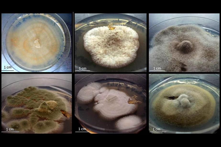 Mycologie © MNHN
